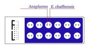 anaplasma_ehrlichia